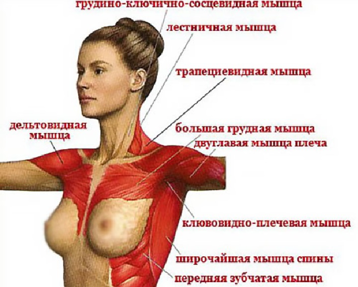 Анатомия женских грудных мышц